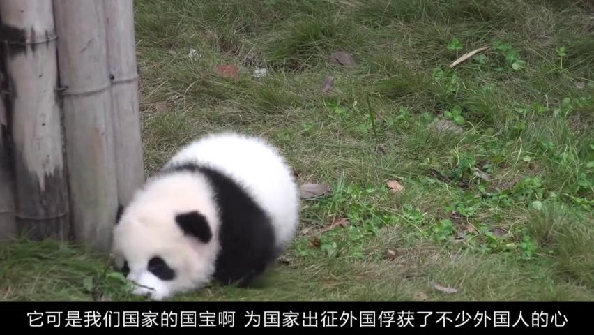 饲养员带熊猫晒太阳,其中一只引起人们注意,生到最后没颜料了?