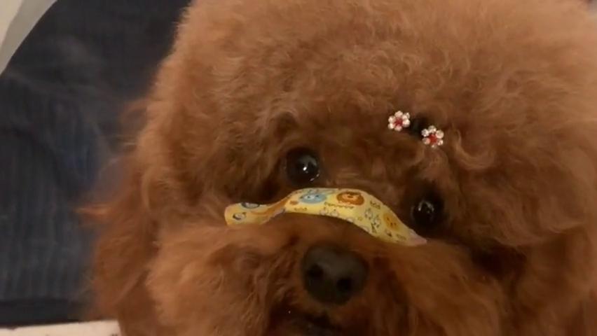 泰迪米米不喜欢主人做的狗窝,还找主人理论,这狗有个性