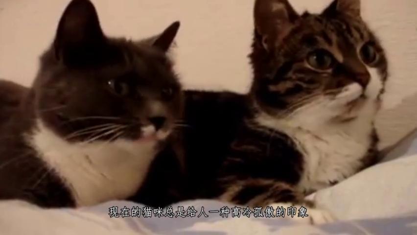 让猫咪陷入疯狂的猫薄荷,给老虎闻一下会怎样?忍住别笑