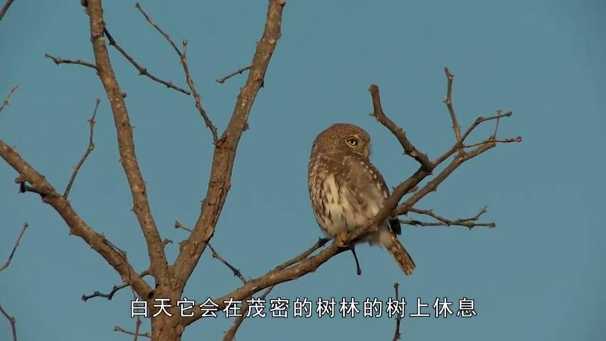 猫头鹰霸占松鼠的树洞,没想到小松鼠也不是泥捏的,直接一脚踹飞