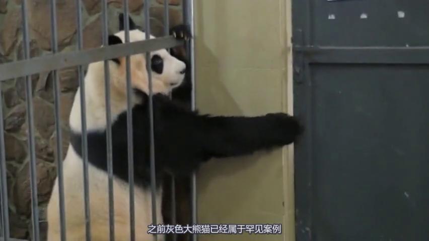 没有黑眼圈的熊猫没有灵魂,网友在线劝说滚滚熬夜!别用眼霜