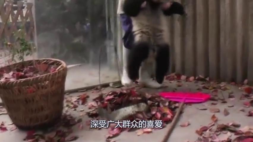 日本对熊猫究竟做了啥,与中国反差那么大?网友:这才是国宝!