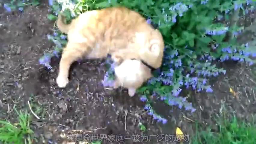 猫生第一次遇上猫薄荷,怎么和别人不一样,我怀疑你不是猫