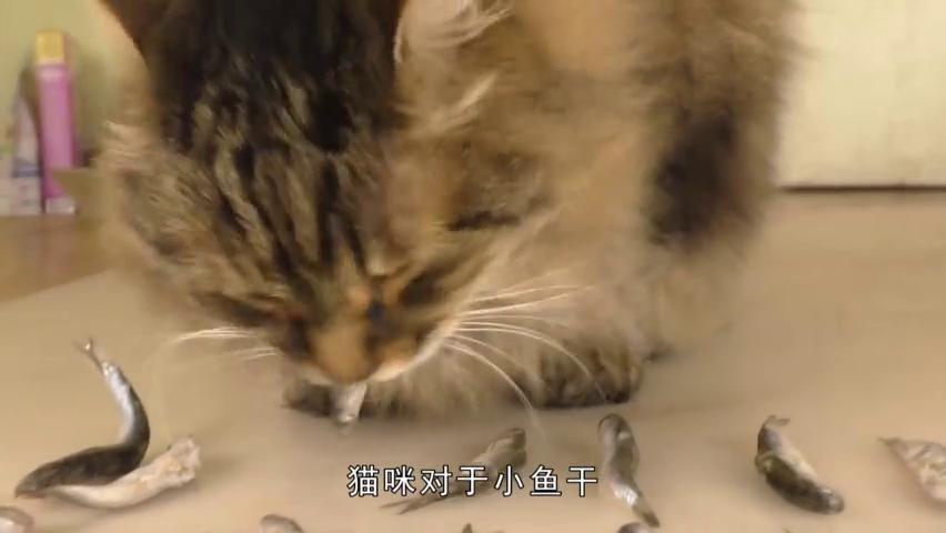 猫咪组队偷吃章鱼,却被章鱼吸住了脸,吓得连连后退