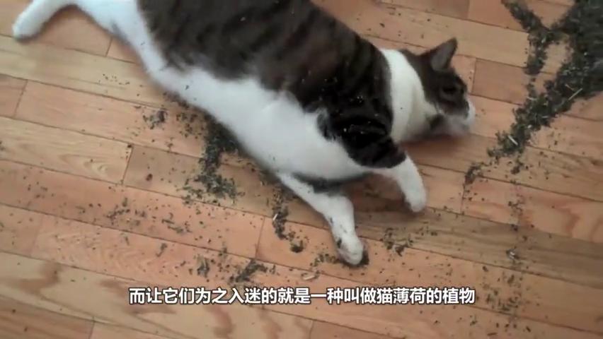 猫闻到猫薄荷时,会有什么反应?猫:我的,这一盆都是我的