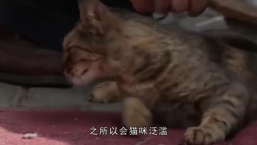 一個收容流浪猫的寺廟:猫咪當初慘遭拋弃,如今養活了整個寺廟