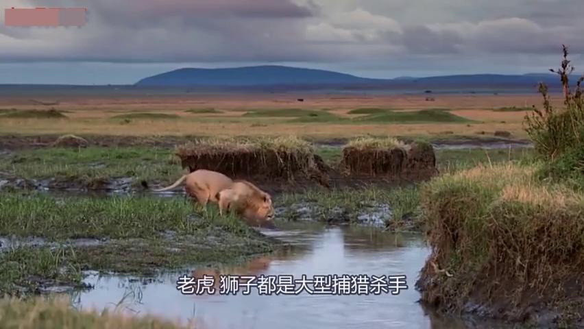鬣狗围攻落单雄狮,一口下去懵了,狮子太搞笑了!