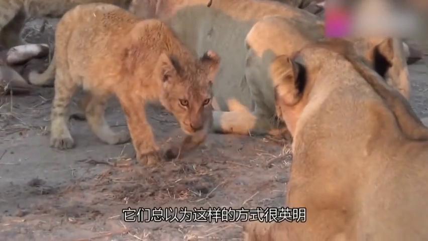 鬣狗群欺负到狮子头上,雄狮发起复仇的反击,镜头记录全过程