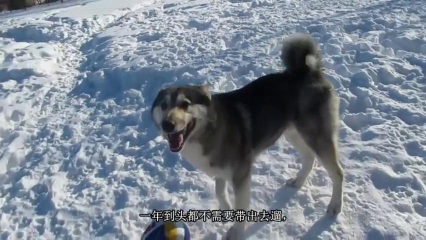 雪天让狗狗们自己玩排球,这样新奇的遛狗方式还是第一次见