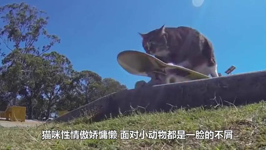高冷的猫咪遭老虎调戏,不料伸出爪子就狂扁老虎,猫:滚远点!