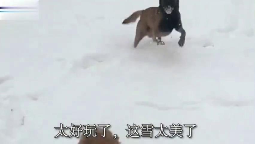 马犬和金毛想去雪里嗨,可看到主人给它们的打扮后,气的没心情了