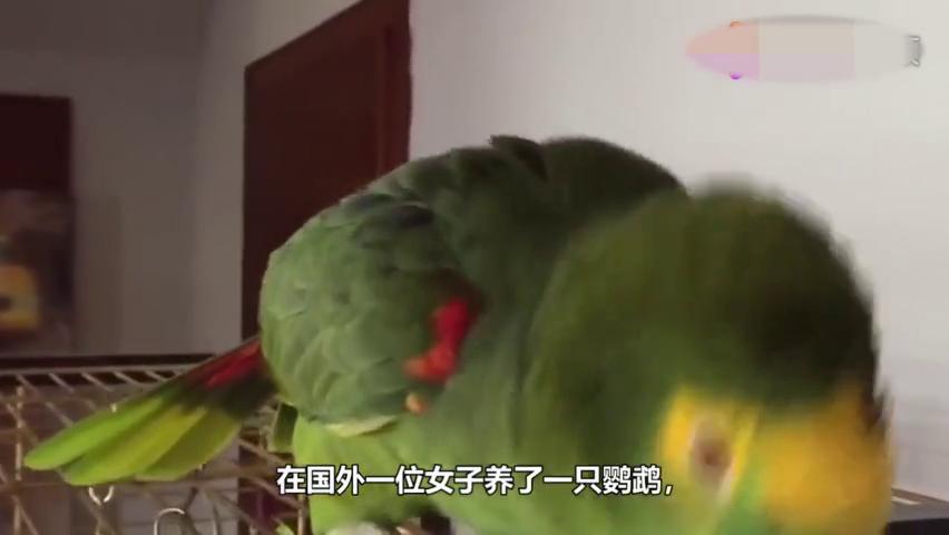 鹦鹉非要接主人的电话,下一秒它的话,一定忍住别笑!
