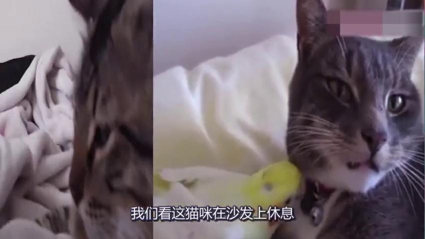 鹦鹉非要给猫咪唱歌,看猫咪的表情,忍住别笑