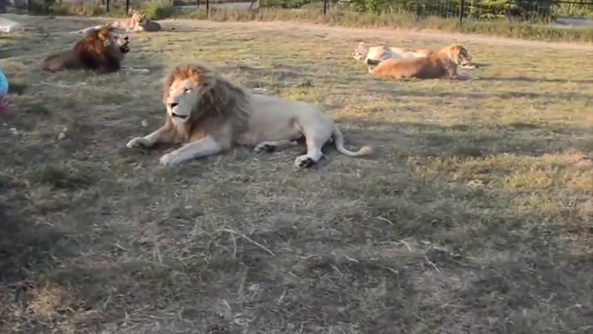 饲养员领着外国人到狮子群里,这些狮子都趴在地上