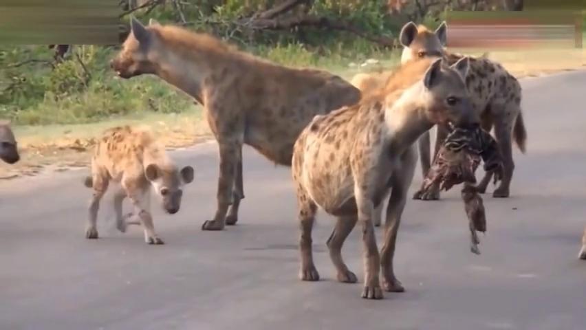 鬣狗女王为了显示自己的威严,挑战狮子,一招就被杀了