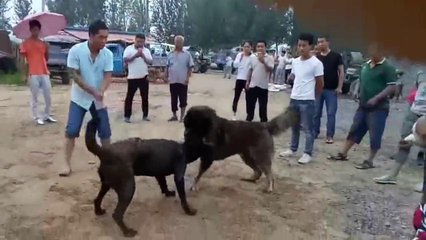 高加索犬遭遇一条很能打的拉布拉多,交战片刻就被小拉按倒在地