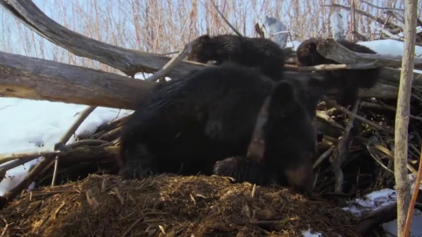 黑熊妈妈带三只萌货出洞_一只却被人类抓走什么情况?