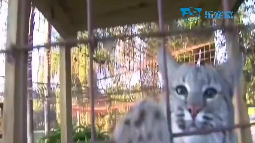 别看猞猁一副凶相玩起来比小猫还可爱