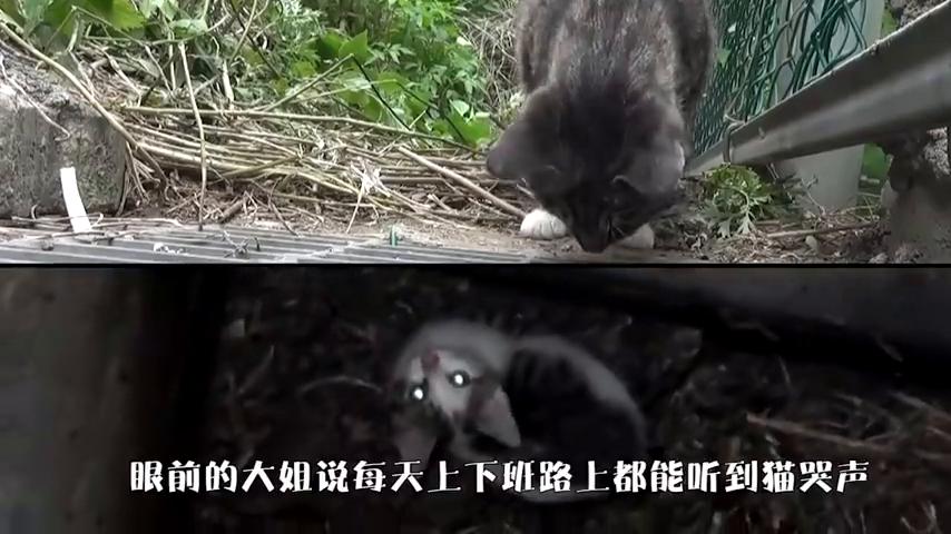 小猫被困下水道,无助母猫每天守着孩子,看完泪目了