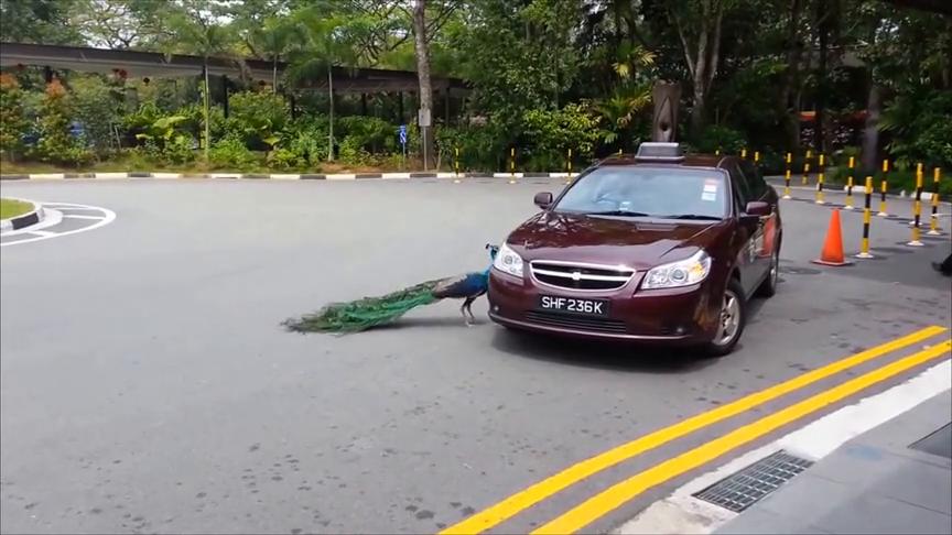 孔雀惊见车身反射自己,对其倒影一顿飞踢狂啄,车主悲剧了
