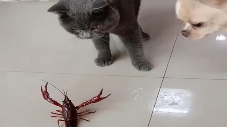 龙虾和猫狗第一次见面,一对二根本不胆怯!