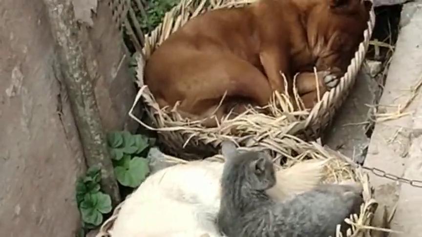"""黄狗为了媳妇上门!""""岳母""""怎么都赶不走!睡得还挺舒坦!"""