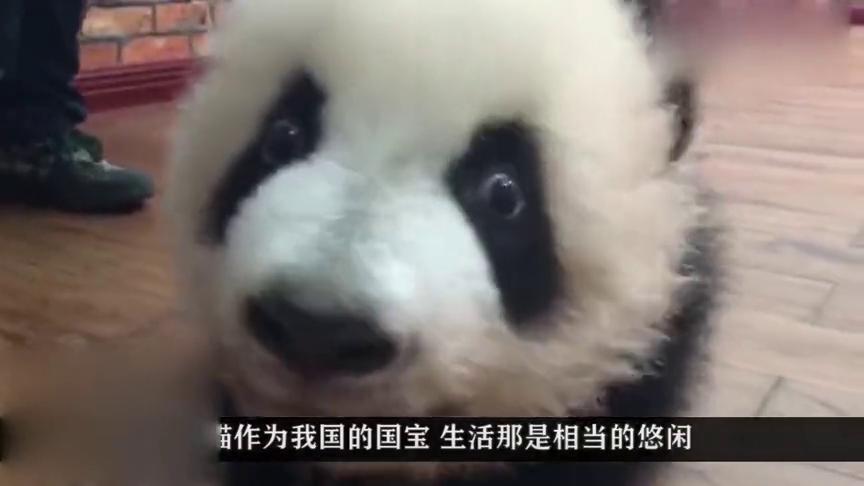 调皮小熊猫不肯睡觉,熊猫妈妈看后使出杀手锏,下秒憋住别笑!