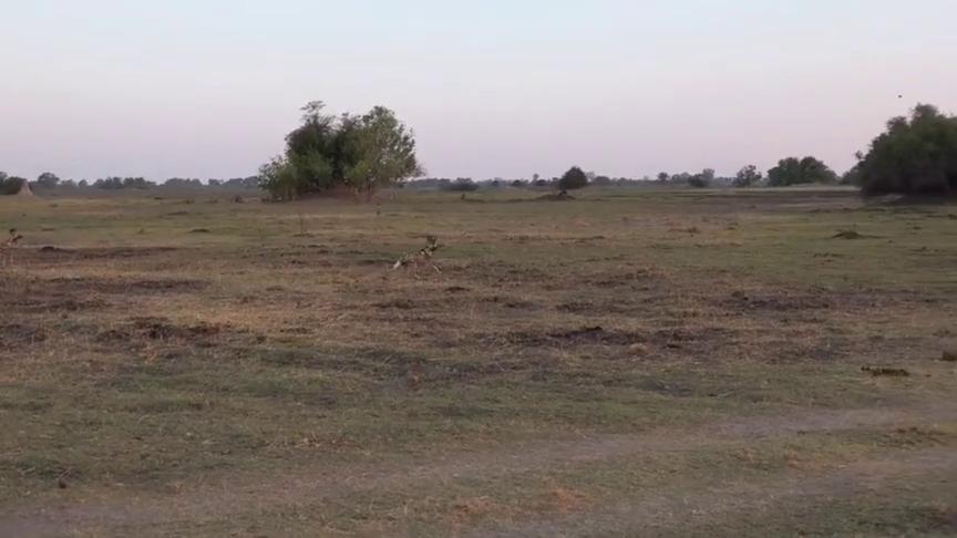 非洲野犬在狮子面前晃悠,狮子看它们不爽,决定把它们赶走