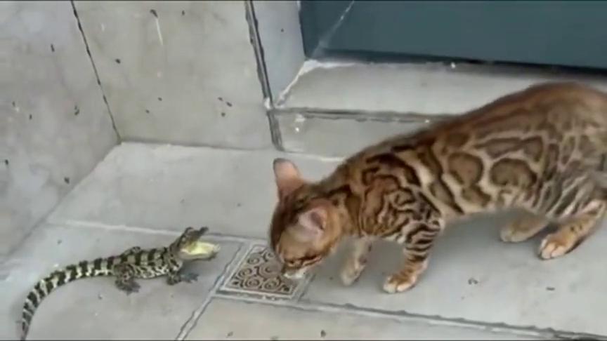 鳄鱼:你再惹我我叫我妈来!猫:鳄鱼也是鱼,也归我管