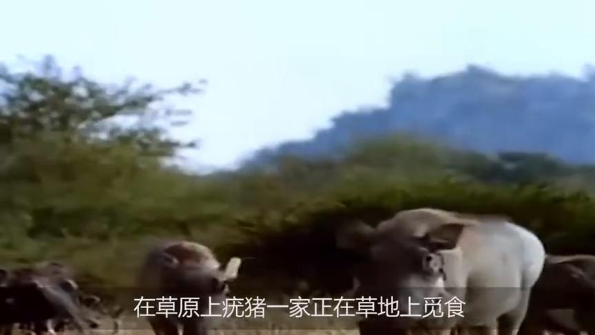 猎豹捕食300斤疣猪,黑斑羚及时出手相救,却被猎豹猎杀