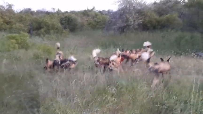 非洲野狗虽然声名狼藉,遇到更无赖的鬣狗那也是一点办法都没有