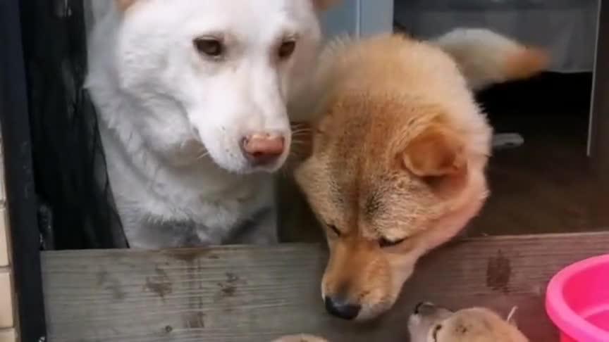 中华田园犬:看来这是亲生的,跟我一模一样!
