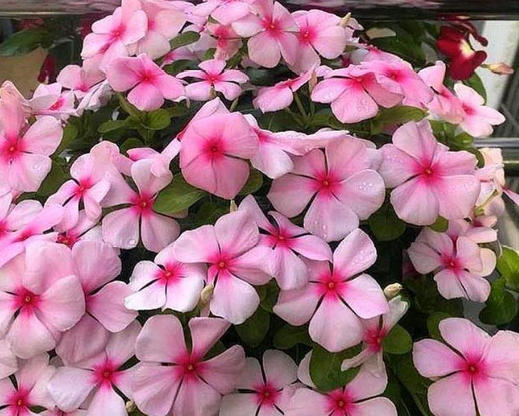此款花卉,花期200多天,丢盆里猛长,开花多又美,一整年开花!