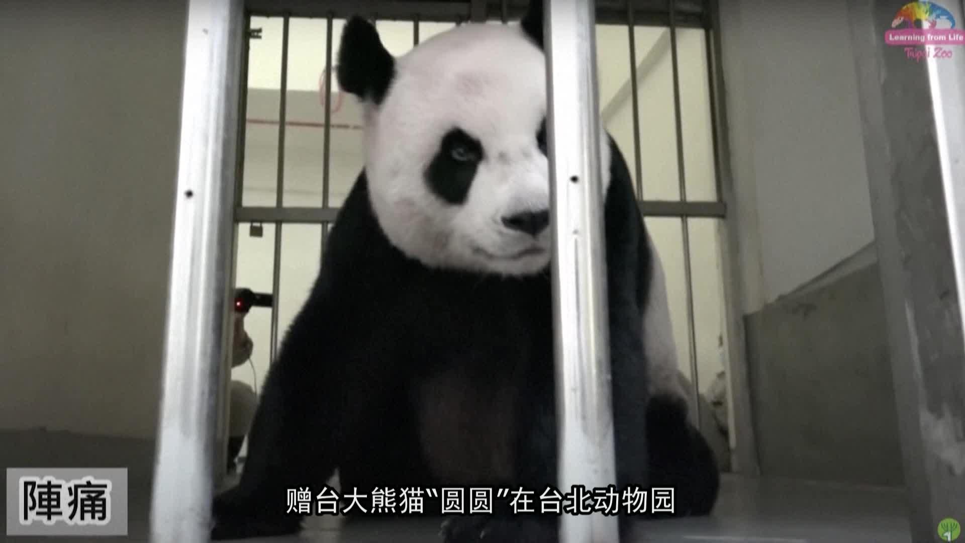 大熊猫圆圆顺利产下二胎
