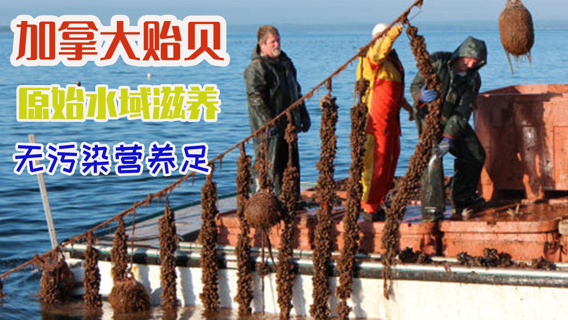 用绳索采收成吨加拿大贻贝,原始海水养殖无污染肉质肥美!