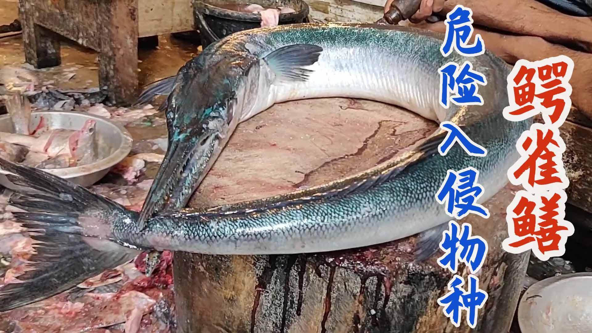 孟加拉渔民分割入侵怪鱼鳄雀鳝,快刀去头尾肉质丰腴!