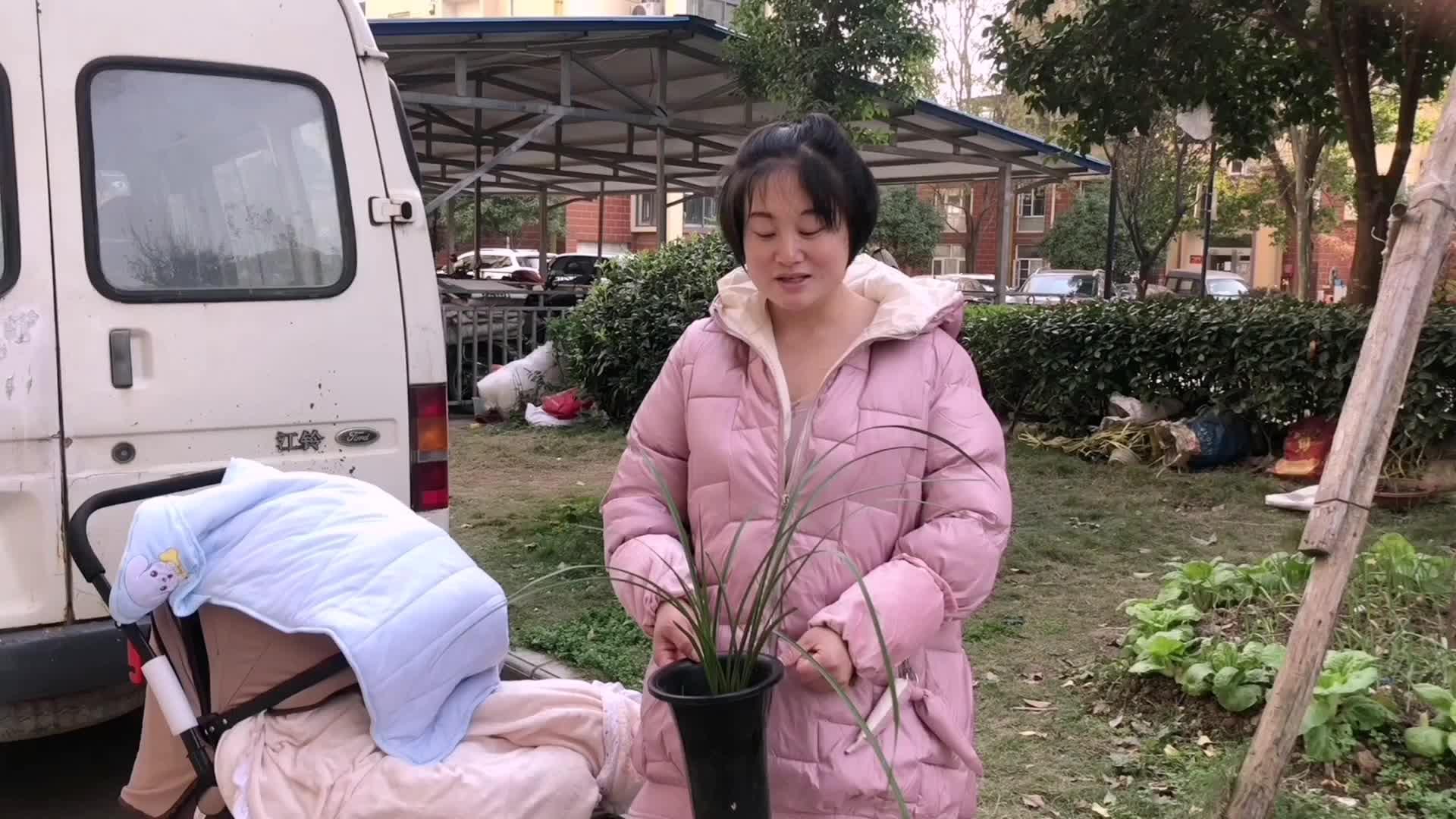 家庭小故事,蕙兰耐寒冷而墨兰娇气,这两种兰花您养了吗?