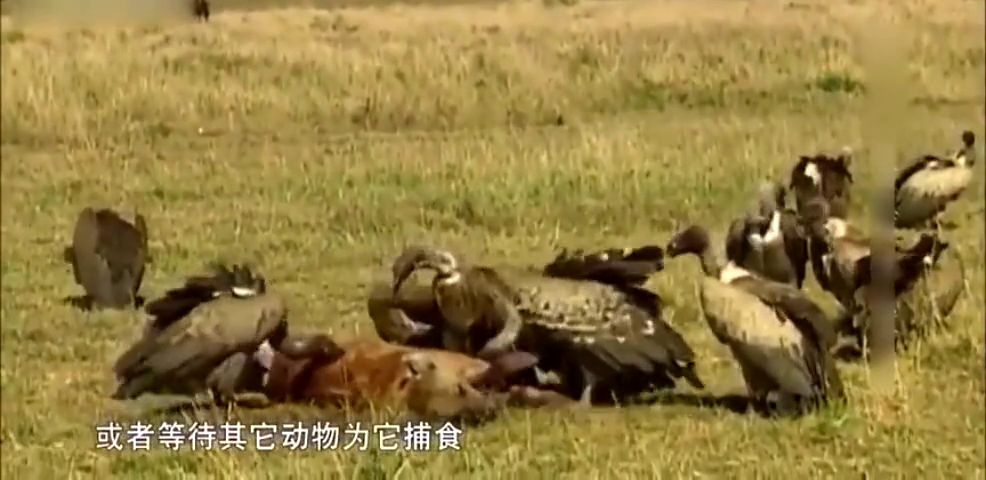 鬣狗在夜里被狮子杀死,死后被秃鹫啃食,下场真悲惨