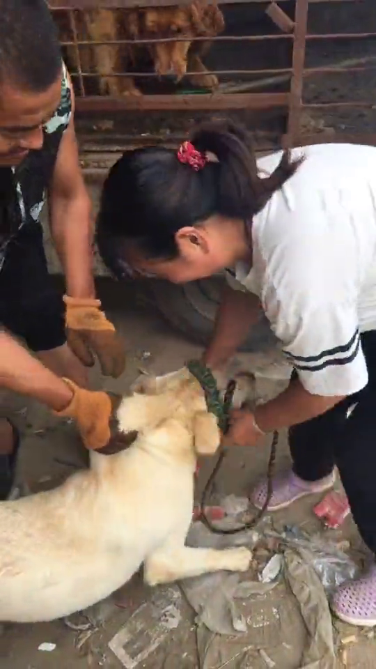 美女狗肉车上救下一只拉布拉多犬