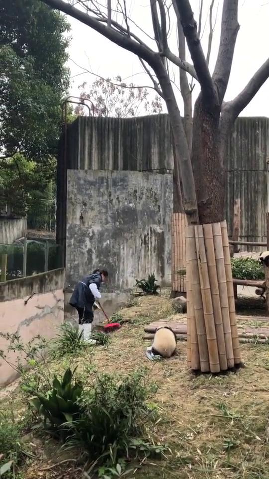 饲养员和熊猫之间的斗智斗勇