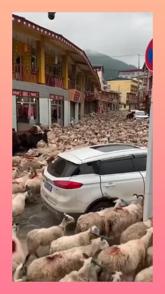 见识一下这就是藏区旅游偶遇眼前的这一幕真是让我开眼了