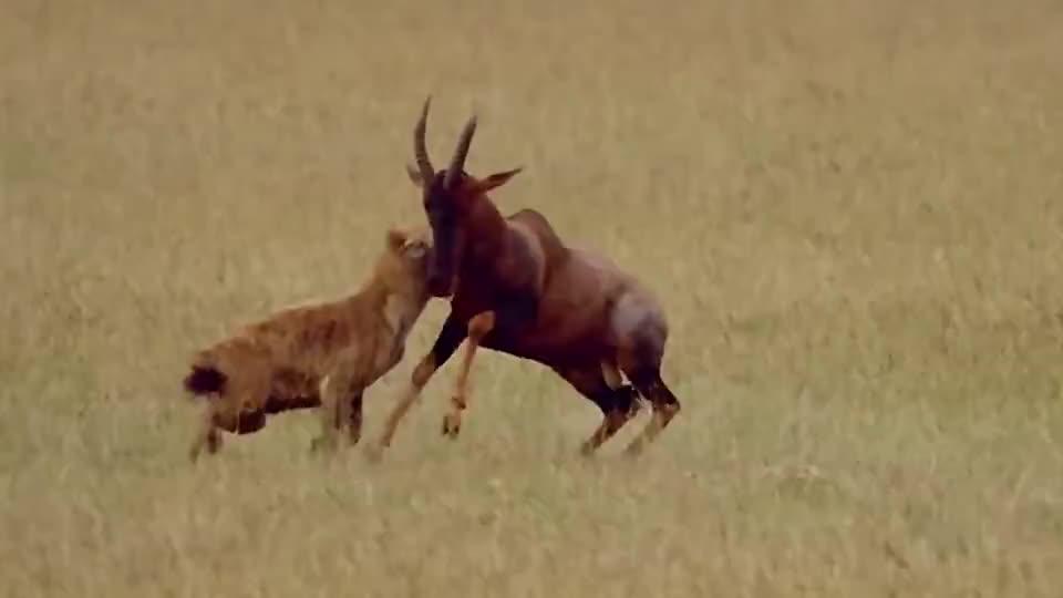 羚羊在草丛中休息,不料被鬣狗给盯上了,幸好羚羊有一招绝技