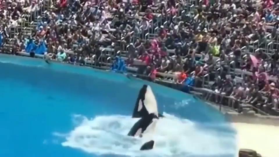 三条虎鲸同时出水,动作超级一致,场面也太壮观了