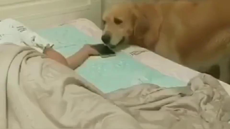 一网友假装睡觉偷拍自家金毛,网友直呼此狗只应天上有