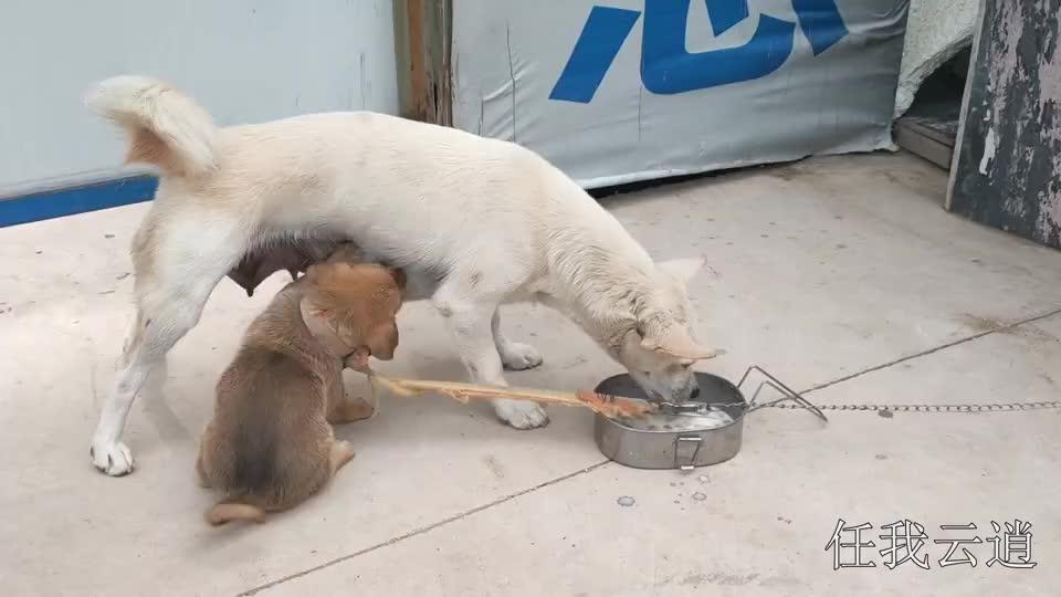 小奶狗已经是大孩子了,还不失任何机会吃妈妈乳汁非得把妈妈榨干