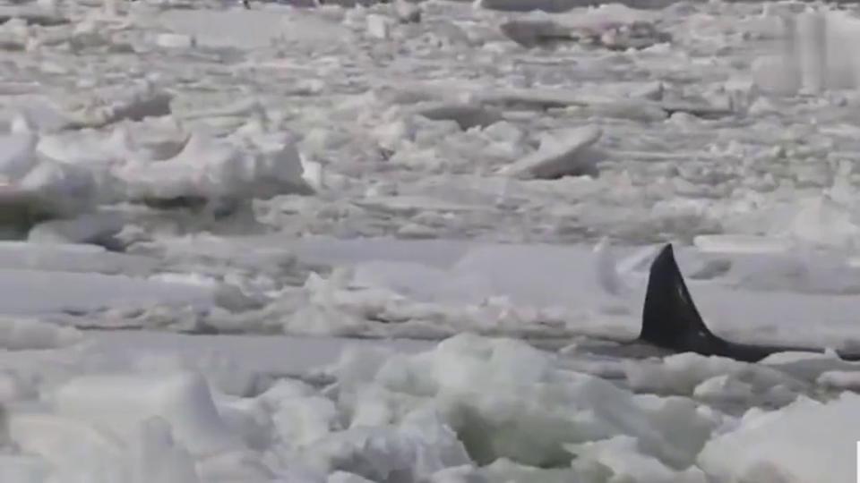 海洋霸主虎鲸也会被困在冰面,救援人员暖心营救!