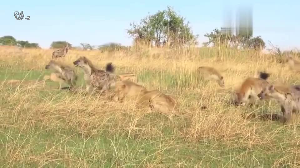 正在享受美食的狮子,遭遇鬣狗群的围捕,它能否保护自己的猎物?