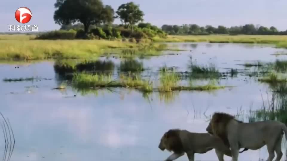 两狮子过河,一只狮子被鳄鱼咬住,另外只狮子被吓得慌忙逃窜
