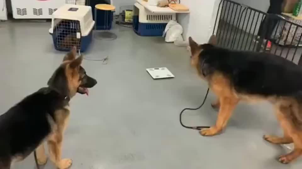小德牧实力展示什么叫狗仗人势,大德牧:你丫的就是玩不起