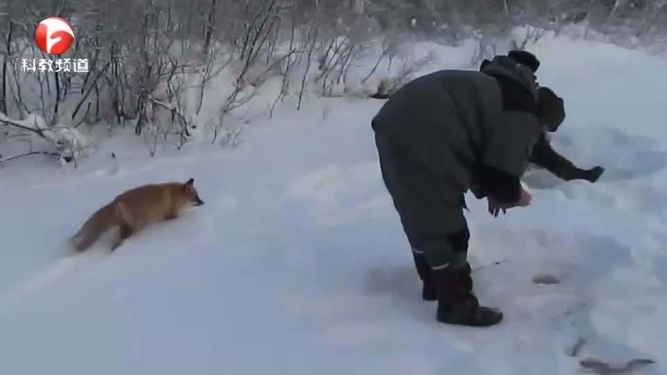 好奇宝宝黄鼬,小跑过来凑热闹,居然不怕人